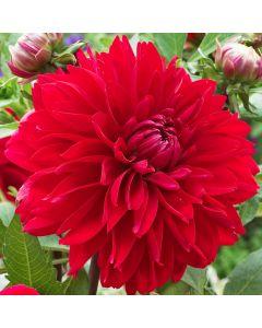 3-Red Decorative Dahlias