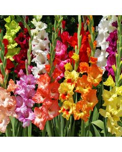50-Mixed Gladiolus