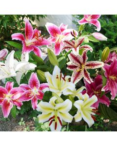 10-Shades of Pink Oriental Lilies