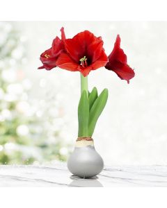Red and Silver Waxed Amaryllis