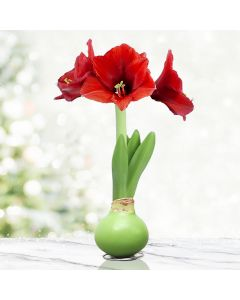 Red and Green Waxed Amaryllis