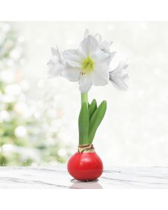 White and Red Waxed Amaryllis