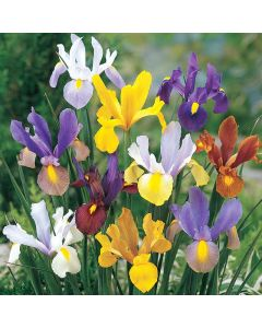 Mixed Tall Dutch Iris
