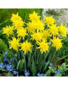 Rip Van Winkle Daffodils