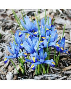 Harmony Dwarf Iris
