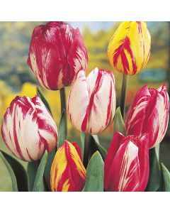 Mixed Rembrandt Tulips