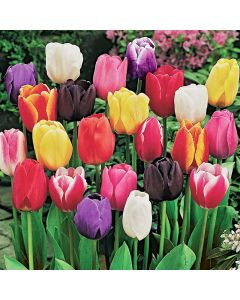 Mixed Triumph Tulip