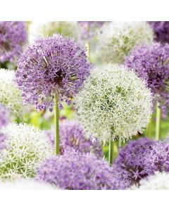 Big Impact Allium