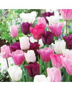 Mixed Sorbet Tulips