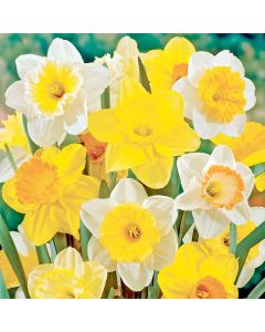 Deluxe Daffodils