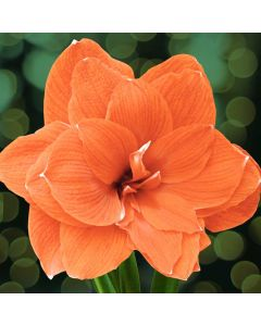 Orange Amaryllis Gift Kits