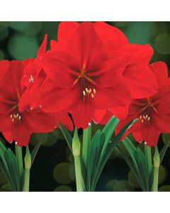 Red Lion Amaryllis Value Kits