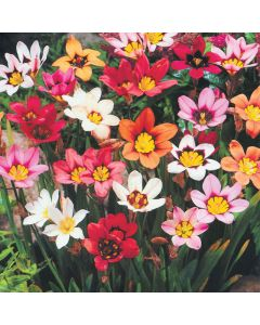 HarlequinFlowers