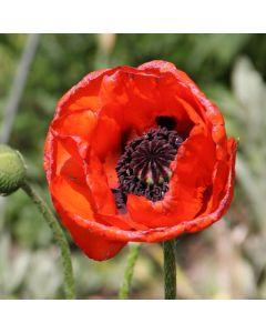 1 Turkenlouis Oriental Poppy