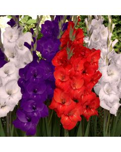 25-Red, White and Blue Gladiolus