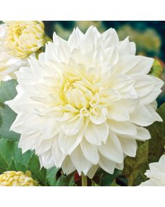 3-White Dahlias